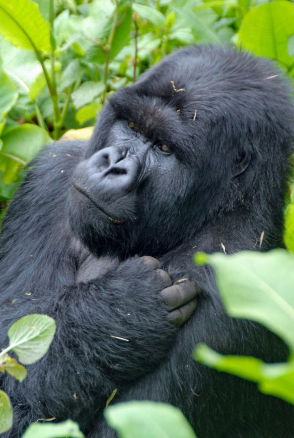 Mountain Gorilla Trekking in Virunga
