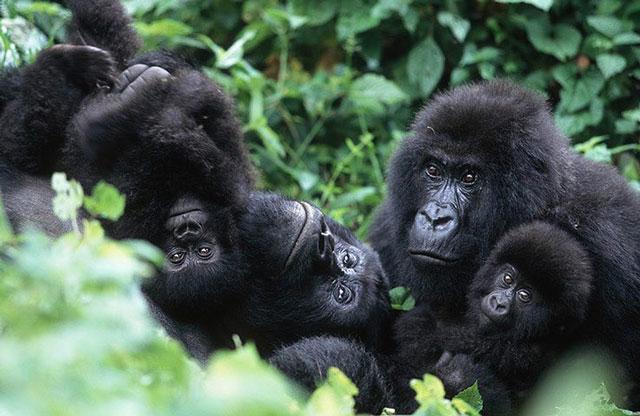 Rwanda Mountain Gorilla Permits