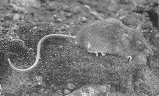 Mount Kahuzi Climbing mouse
