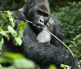1Day Lowland Gorilla Tour