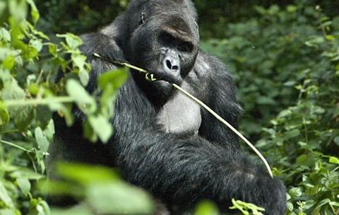 3 Days Lowland Gorilla Tour