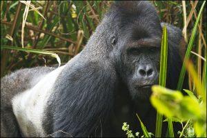 3 Days Eastern Lowland gorilla trekking